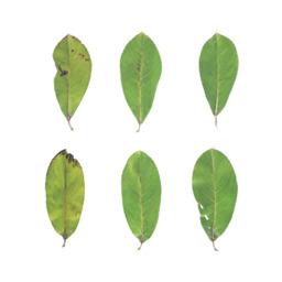 Asset: LeafSet022